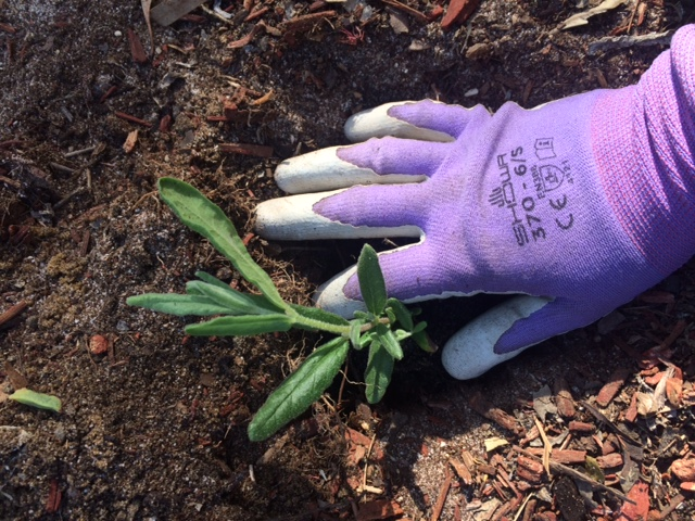 garden glove planting sprout